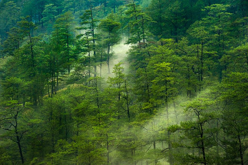 Pine Forest in the Cordilleras