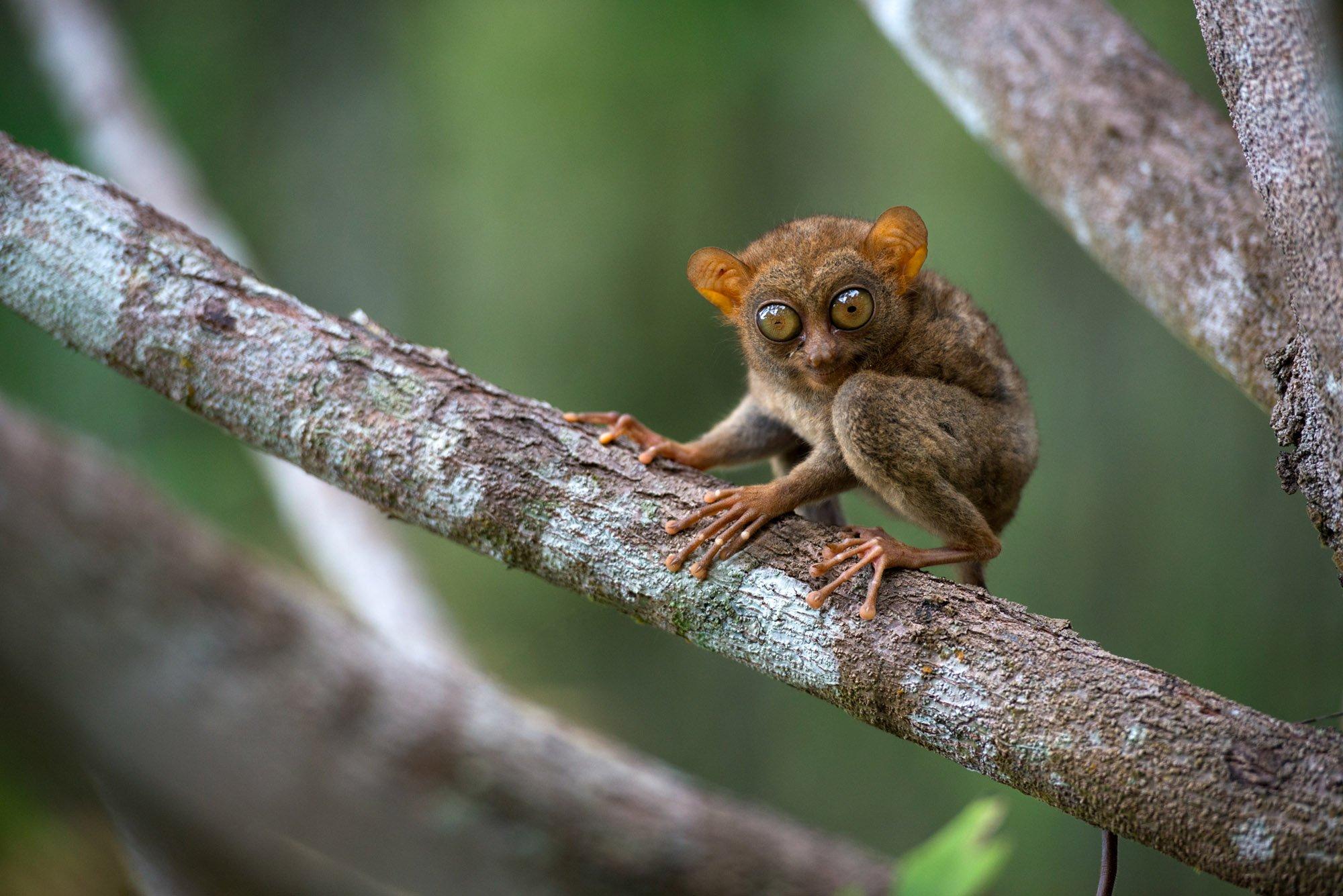 Mindanao tarsier