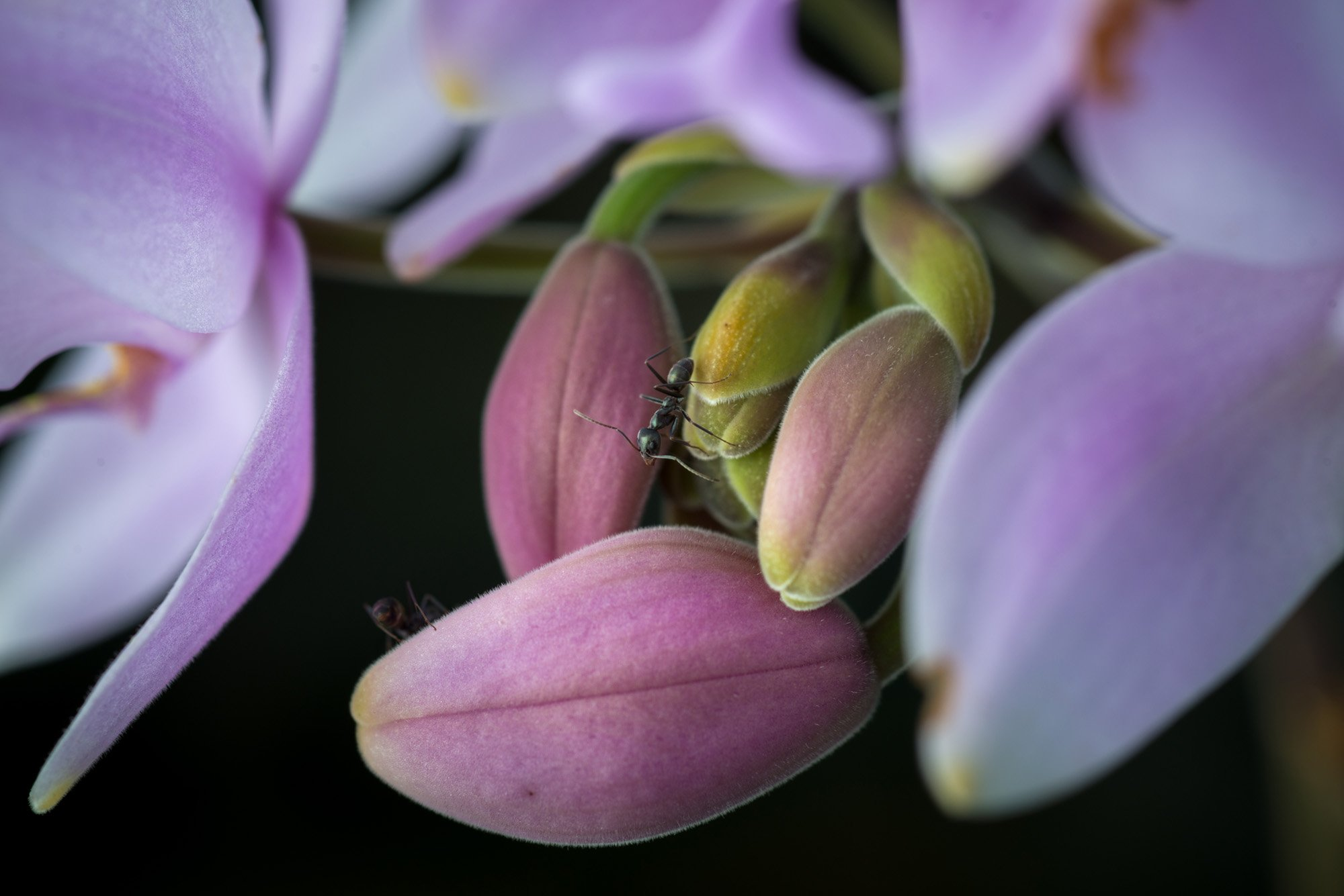 Ant on orchid bloom